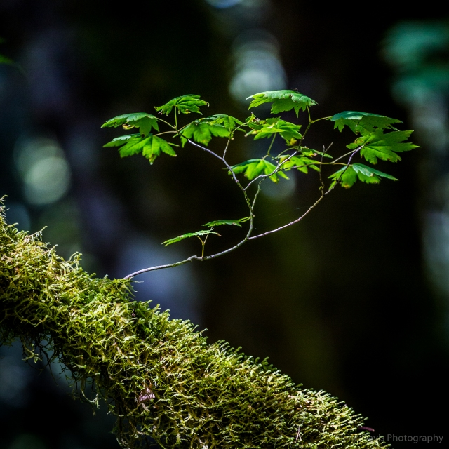 A young branch mimics a bonsai tree as it grows from a moss-covered larger branch.