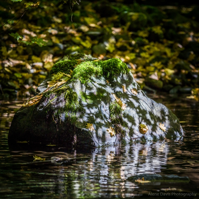Sunlight throws leaf-shaped shadows on a moss-capped rock in Still Creek.